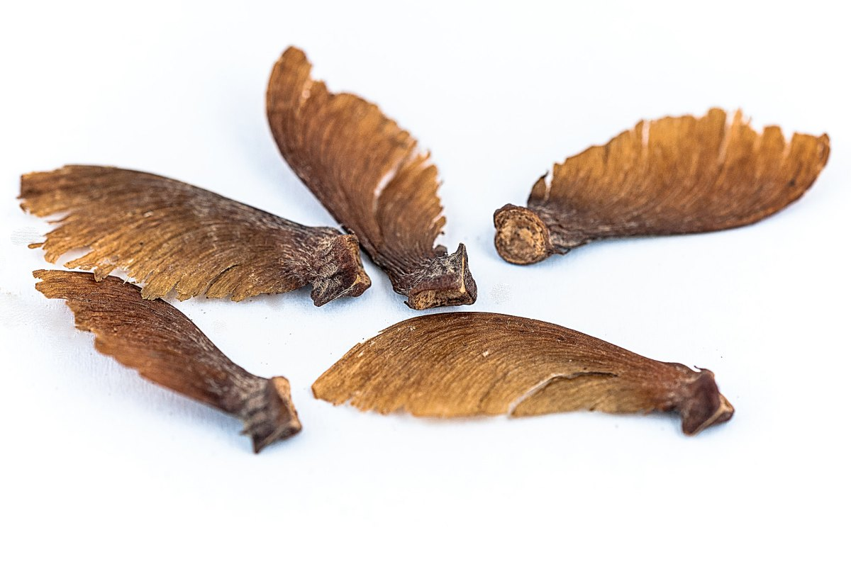 banisteriopsis-caapi